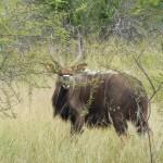 "Nyala Bull 1, sired by 30.5"" Nyala Bull"
