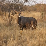 """30.5"""" Nyala Bull, Father of 2 Bulls to be sold (NOT FOR SALE)."""